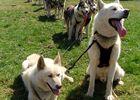 chiens cani-kart amarok