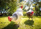 """les """"poulettes"""" du Clos"""