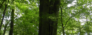 Chêne quadrimelle Aix-en-Othe (2).JPG