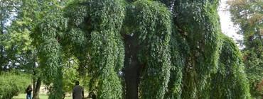 Sophora du japon (7).JPG