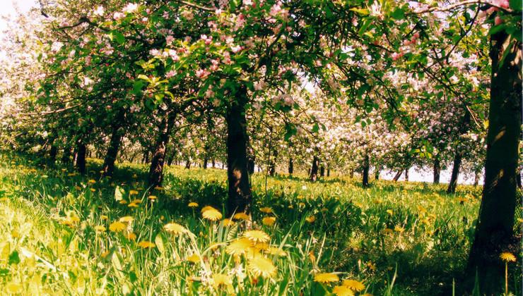 pommiers en fleurs copie.jpg