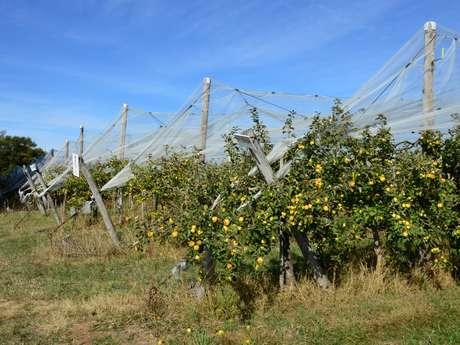 Circuit pédestre N°60 : Le circuit des pommes