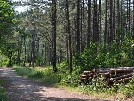 Boucle des Grands Pins - Forêt d'Écault