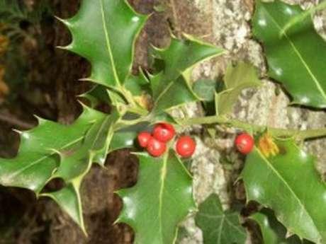 Balade de Noël vers les buissons de houx. Houx y es-tu?