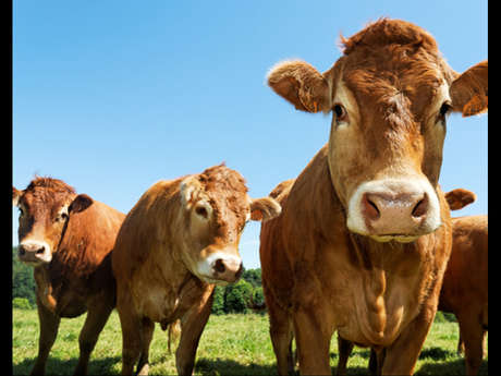 Pascal Avenier - Producteur de viande de boeuf et veau - Vente directe