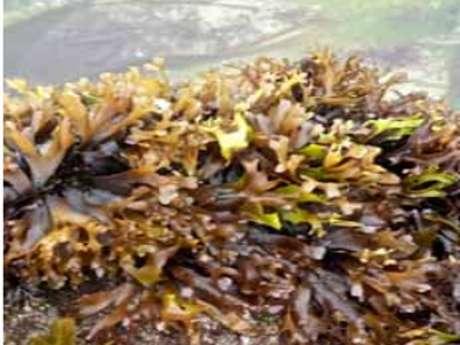 Dégustation d'algues