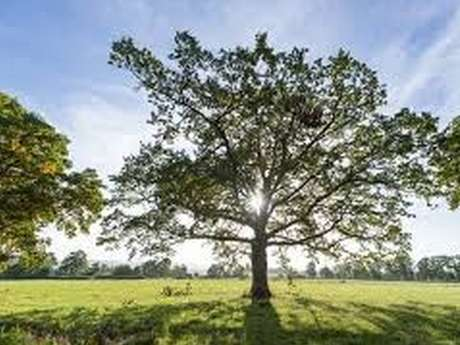 Balade à la rencontre des arbres remarquables