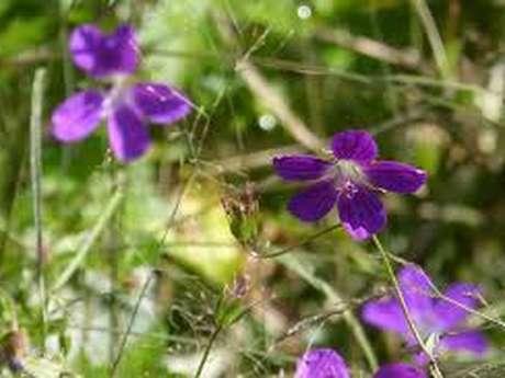 Atelier Botanique : Les Géraniums Sauvages