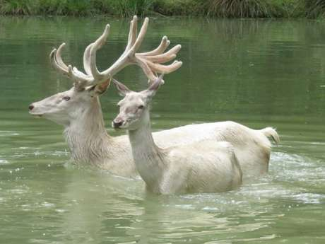 Les cerfs : venez les voir se baigner !