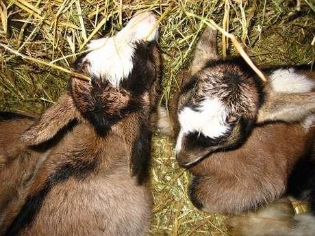 FROMAGERIE LE PITOU - Elevage de Chèvres