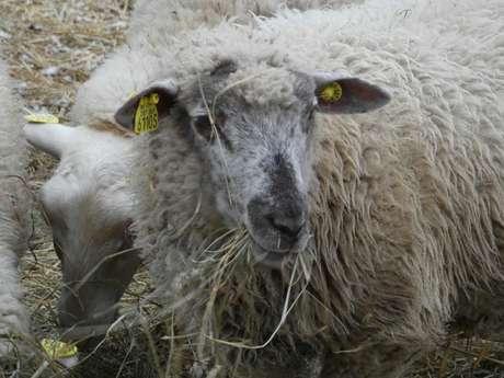 Des brebis ... à la laine