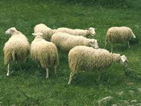 Fête de la laine