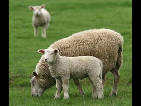 EARL Maelie - Viande d'agneau - Vente directe