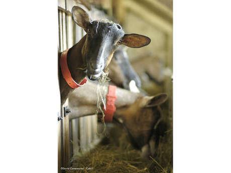 Les Chèvres de la Hutte