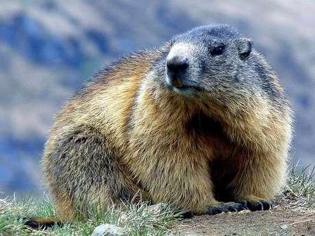 Observation marmottes