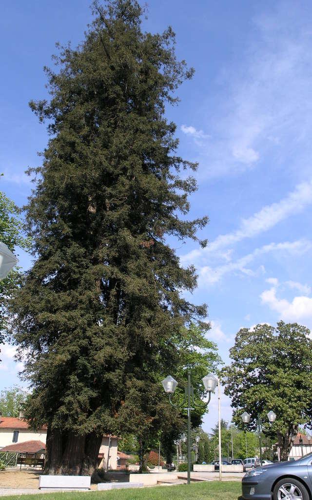 Arbre Remarquable - Le Séquoïa