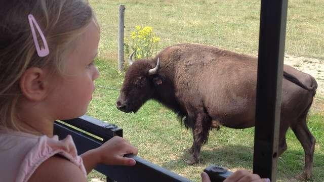 A la découverte du bison d'Amérique