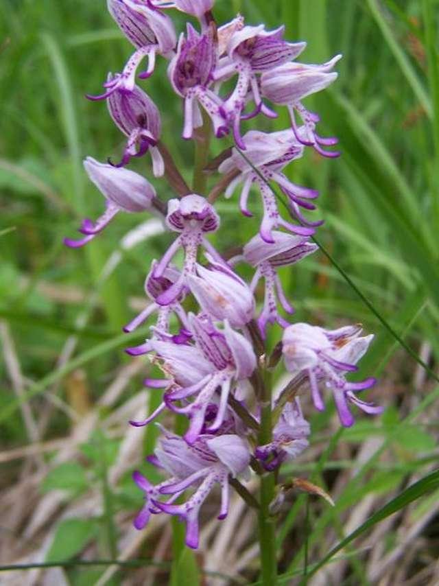 Sortie nature - Beautés colorées les orchidées sauvages à Chatillon-sur-Cher