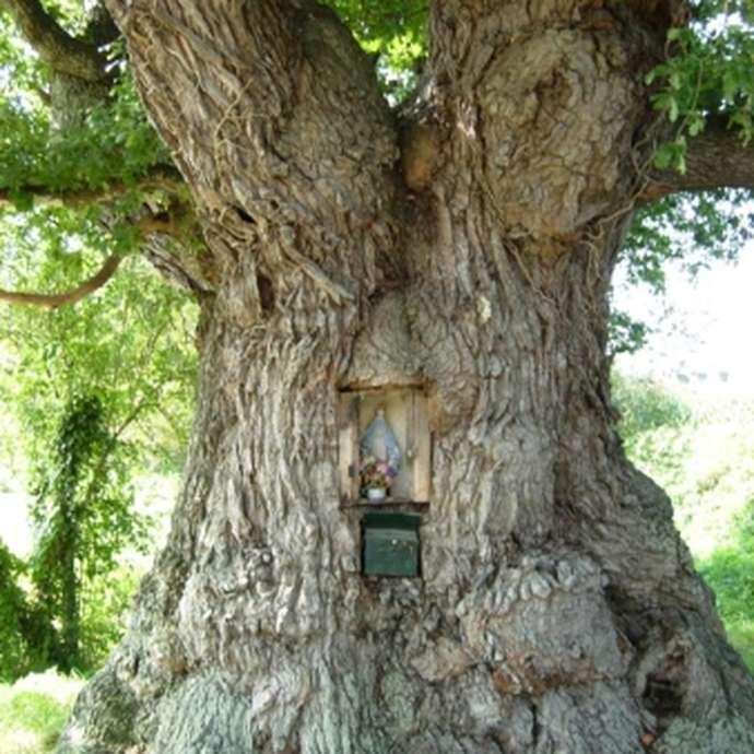 Chêne de la Ville Hervy - 400 à 600 ans