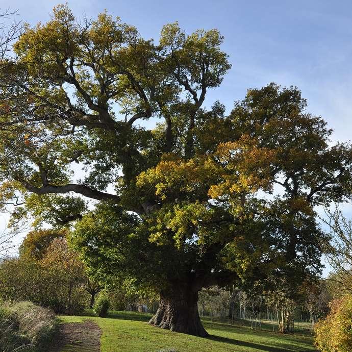 Chêne pédonculé (Quercus robur) à Hénanbihen