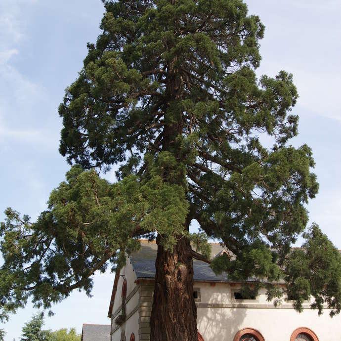Séquoia géant (Sequoiadendron giganteum) - 117 ans